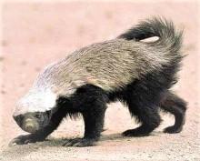 Honey Badger 3