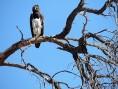 Martial Eagle by Constanza