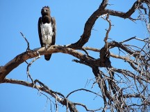 Martial Eagle by Constanza