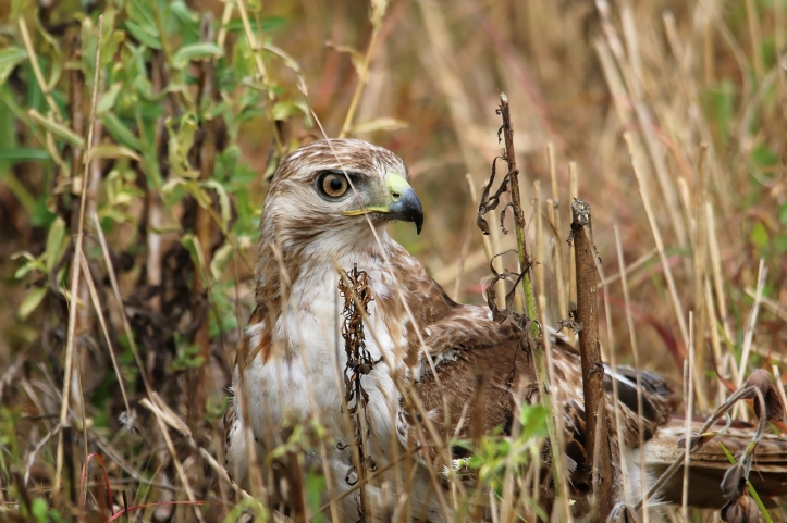 red-tailed-hawk-1980900_1280