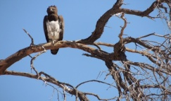 A protected Martial eagle in the Kruger National Park, South Africa