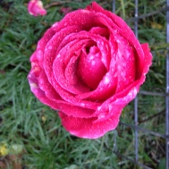 rose pink with dew