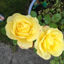 Rose two yellow from Dolly's garden